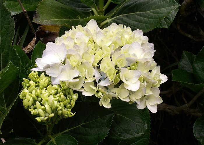 Flower Greeting Card featuring the photograph White Hydrangeas by Amy Fose