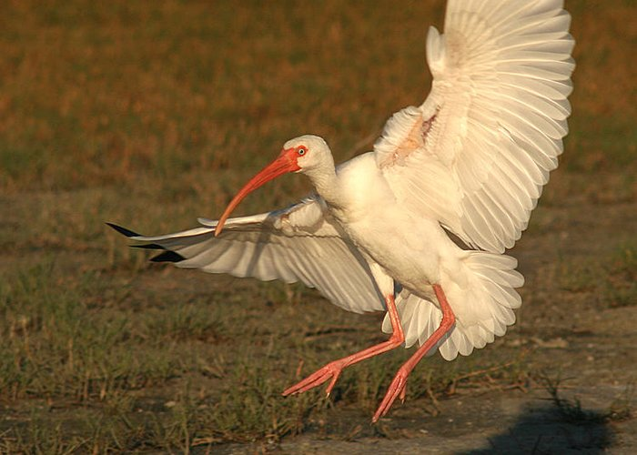 Ibis Greeting Card featuring the photograph White Ibis Landing Upon Ground by Max Allen