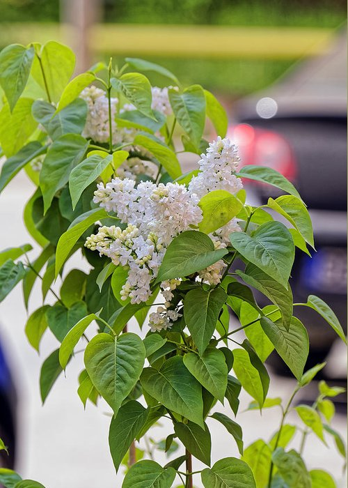 Beautiful Greeting Card featuring the photograph White Lilac Flower by Adrian Bud