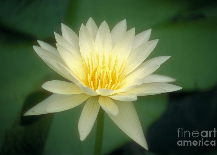 Anther Greeting Card featuring the photograph White Lily by Ron Dahlquist - Printscapes