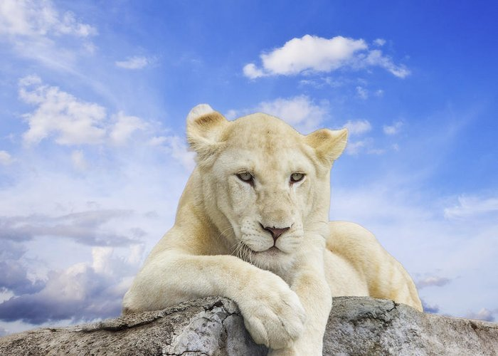 Amazing Greeting Card featuring the photograph White Lion by Anek Suwannaphoom