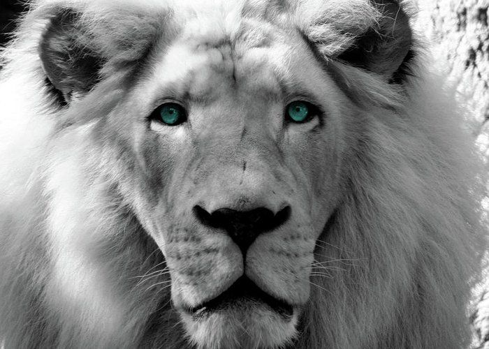 White Lion Photography Greeting Card featuring the photograph White Lion Hue by Mark Spann