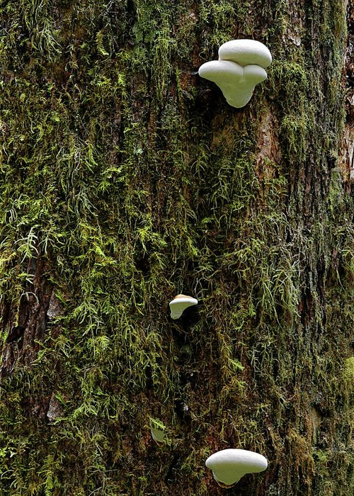 Fungus Greeting Card featuring the photograph White Mushrooms - Quinault Temperate Rain Forest - Olympic Peninsula Wa by Christine Till