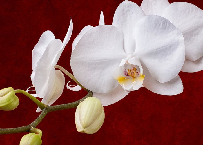 White Orchid Greeting Cards