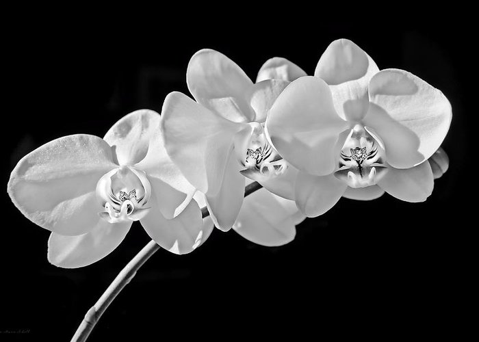 White Orchid Flowers Black And White Greeting Card For Sale By
