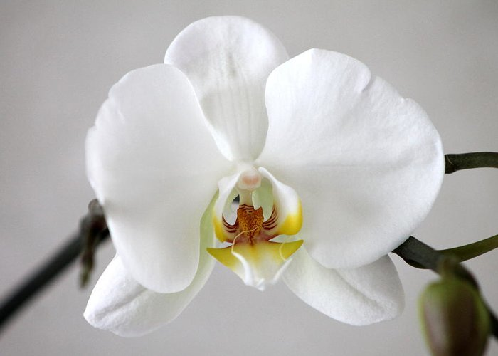 Orchid Greeting Card featuring the photograph White Moth Orchid by Jill Black