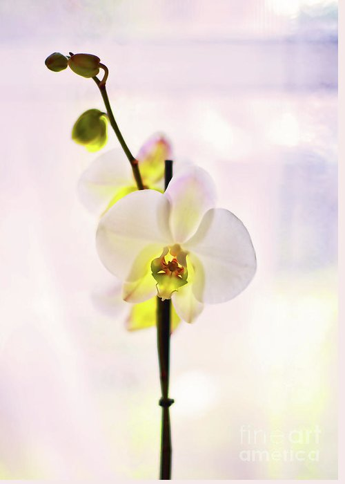 White Greeting Card featuring the photograph White Orchid V2 by Alex Art and Photo