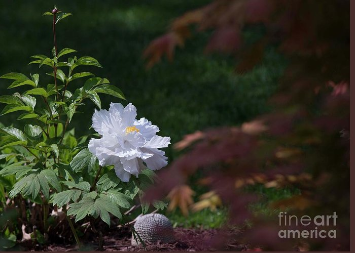 White Greeting Card featuring the photograph White Peony by David Bearden