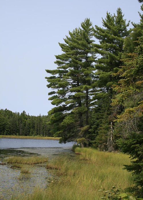 Landscape Greeting Card featuring the photograph White Pines by Alan Rutherford