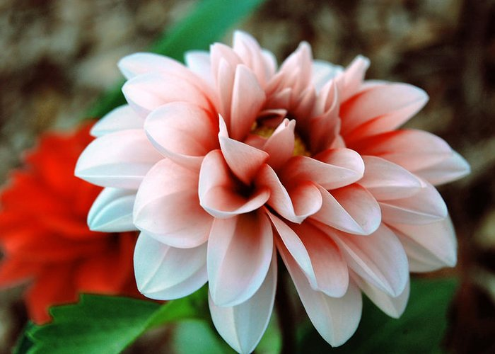 Flower Greeting Card featuring the photograph White Red Flower by Jame Hayes