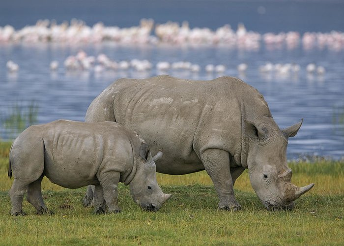 Mp Greeting Card featuring the photograph White Rhino Mother And Calf Grazing by Ingo Arndt