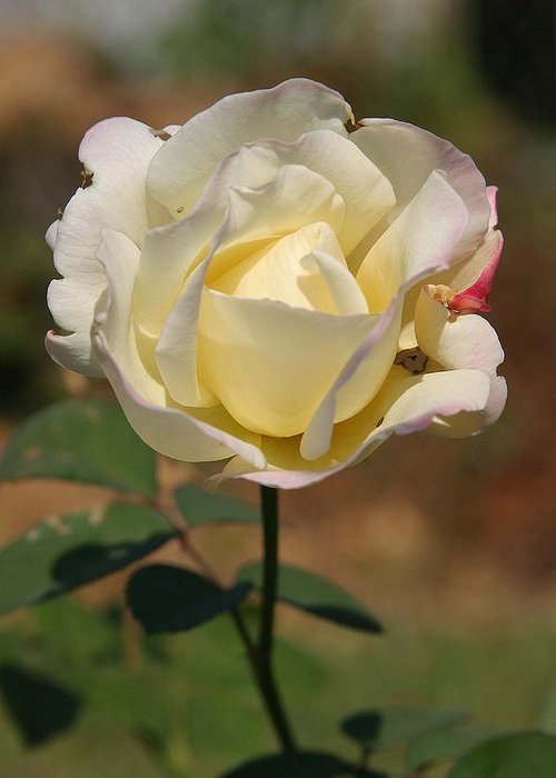 Rose Greeting Card featuring the photograph White Rose by Donald Tusa