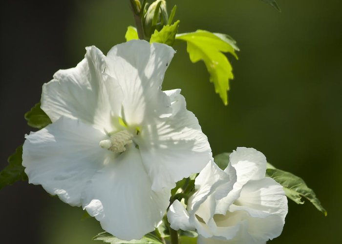 Rose Of Sharon Greeting Card featuring the photograph White Rose Of Sharon Squared by Teresa Mucha