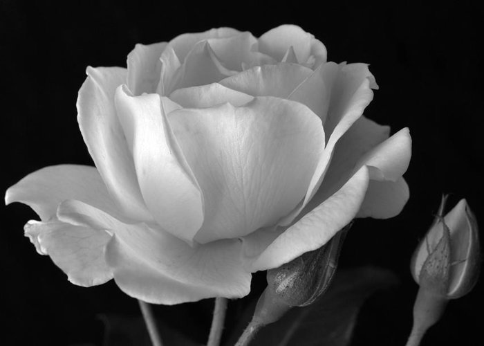 White Rose Greeting Card featuring the photograph White Rose by Terence Davis