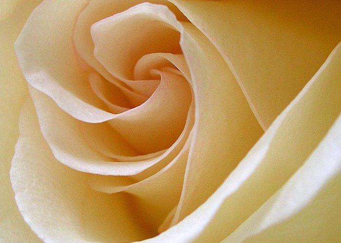 Rose Greeting Card featuring the photograph White Rosebud by Addie Hocynec