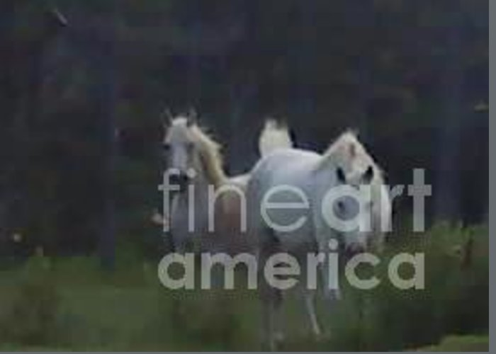 White Stallion Greeting Card featuring the photograph White Stallions by Dawn Johansen