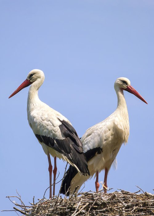 White Greeting Card featuring the photograph White Storks by Wim Lanclus