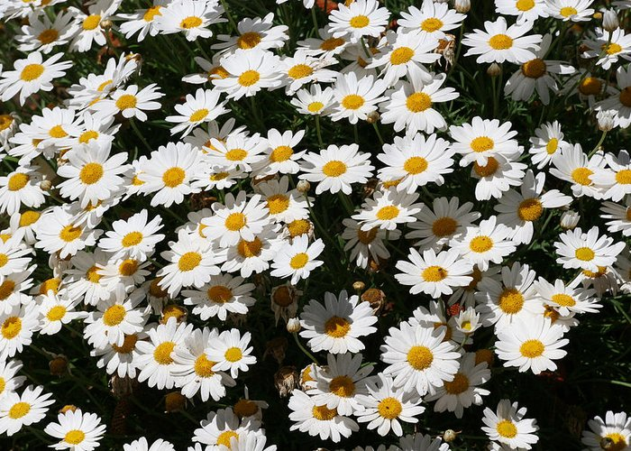 White Greeting Card featuring the photograph White Summer Daisies by Christine Till