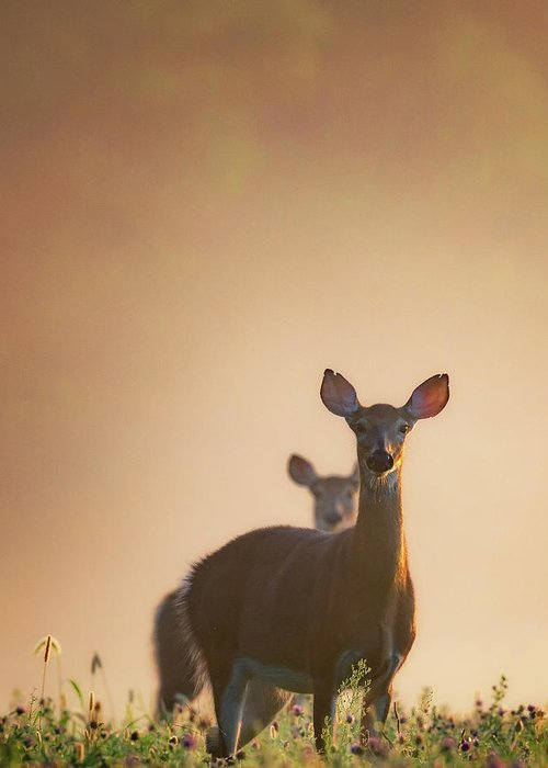 Deer Greeting Card featuring the photograph White-tailed Deer 2016 by Bill Wakeley