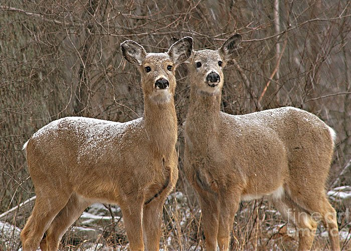 Deer Greeting Card featuring the photograph White-tailed Deer Pair Peering Out From Snowstorm by Max Allen