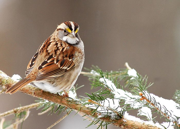 White Throated Sparrow Greeting Card featuring the photograph White Throated Sparrow by Alan Lenk