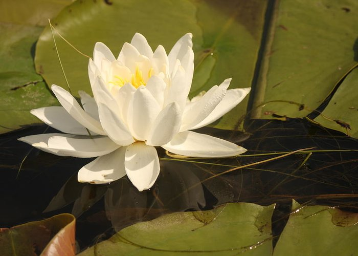 Flower Greeting Card featuring the photograph White Water Lily by Francoise Villibord Pointeau