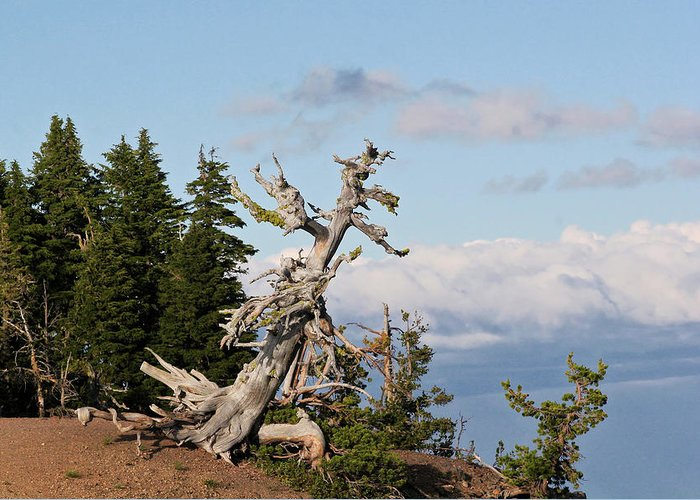Pines Greeting Card featuring the photograph Whitebark Pine At Crater Lake's Rim - Oregon by Christine Till