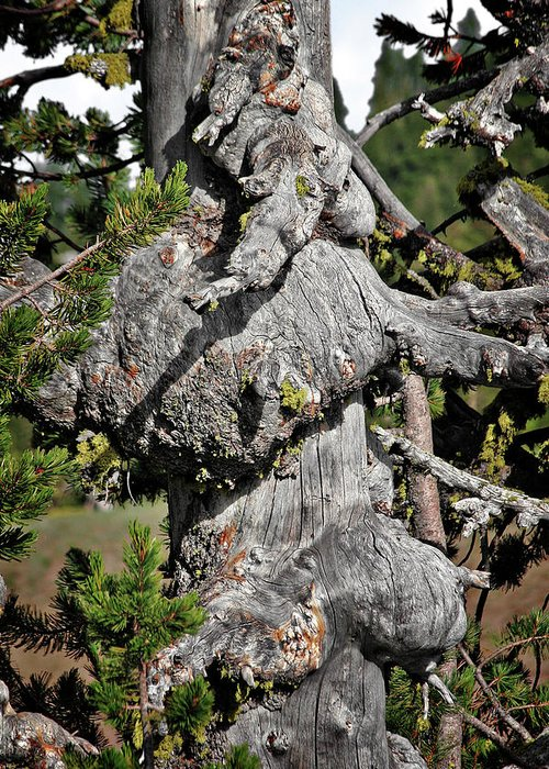 Pines Greeting Card featuring the photograph Whitebark Pine Tree - Iconic Endangered Keystone Species by Christine Till