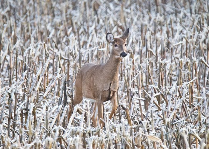 Deer Greeting Card featuring the photograph Whitetail In Frosted Corn 537 by Michael Peychich