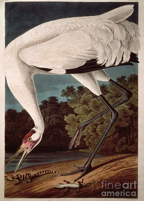 Crane Greeting Card featuring the painting Whooping Crane by John James Audubon