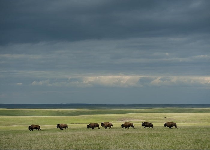 Outdoors Greeting Card featuring the photograph Wild American Bison Roam On A Ranch by Joel Sartore