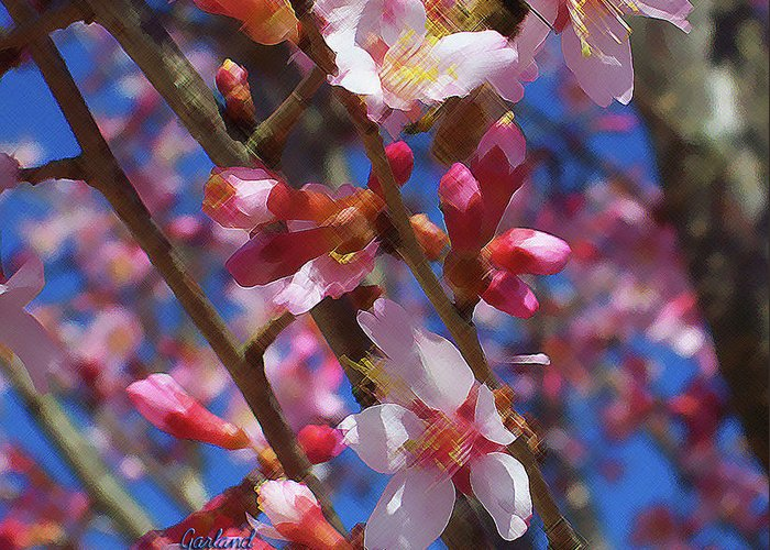 Spring Greeting Card featuring the mixed media Wild Cherry Tree In Bloom by Garland Johnson