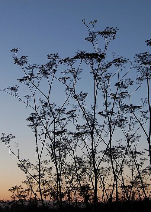 Sky Greeting Card featuring the photograph Wild Dill Silhouette by Jean Booth