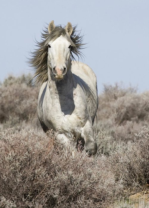 Wild Horse Greeting Card featuring the photograph Wild Grey Stallion Runs Close by Carol Walker