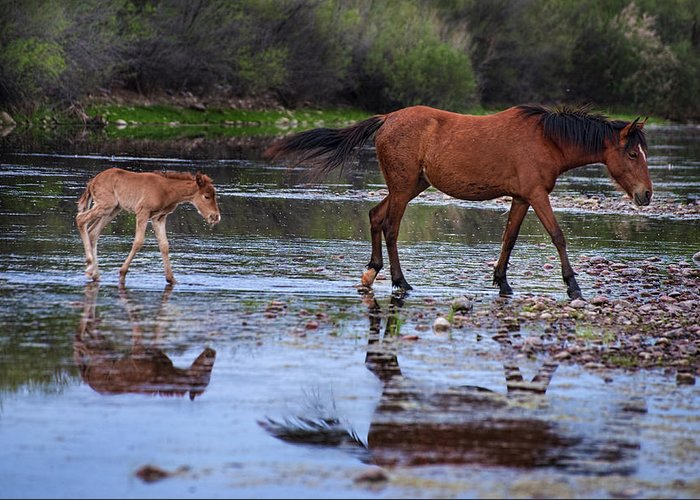 Wild Horses Greeting Card featuring the photograph Wild Horse And Foal Cross Salt River by Dave Dilli