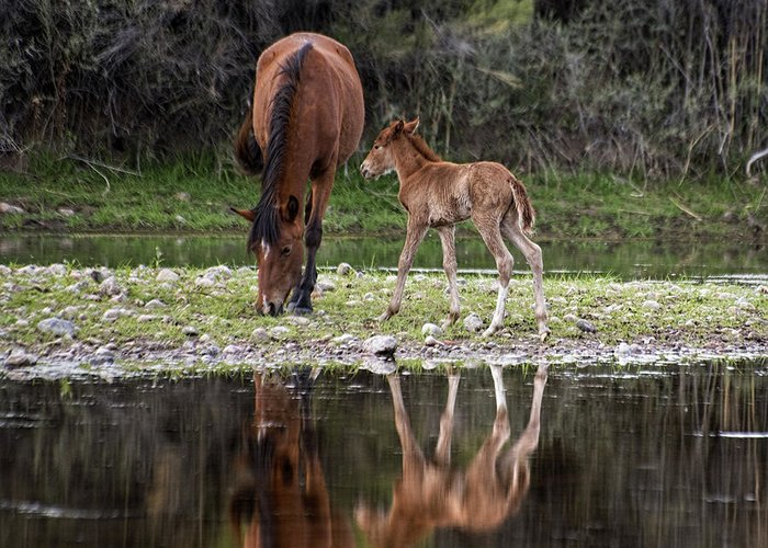 Salt River Horse Greeting Card featuring the photograph Wild Horses Reflected In The Salt River by Dave Dilli