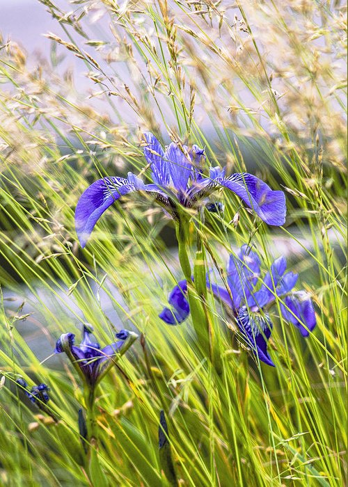 Wild Iris Greeting Card featuring the photograph Wild Irises by Marty Saccone