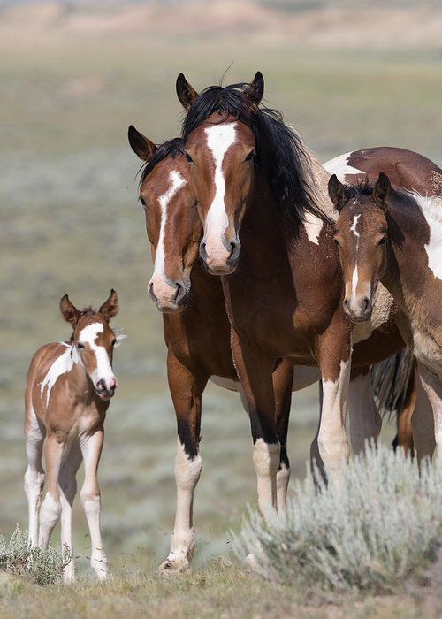 Pinto Greeting Card featuring the photograph Wild Pinto Family by Carol Walker