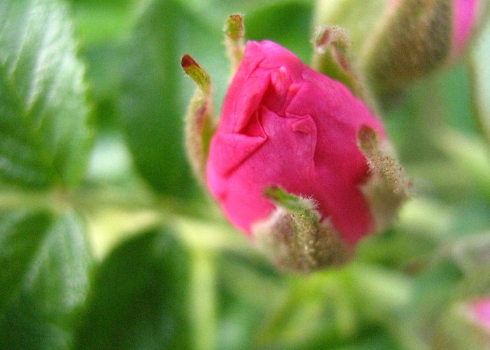 Rose Greeting Card featuring the photograph Wild Rose Bud by Melissa Parks