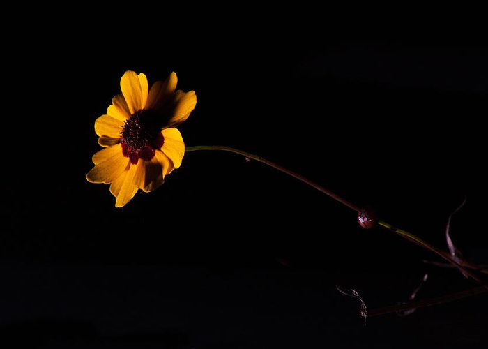 Flower Greeting Card featuring the photograph Wildflower On Black by Eugene Campbell