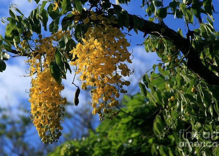 Wilhelmina Tenney Rainbow Shower Tree Makawao Maui Flowering Trees