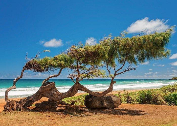 Wind Blown Tree Kapaa Kauai Hawaii Hi Greeting Card featuring the photograph Wind Blown Tree by Brian Harig