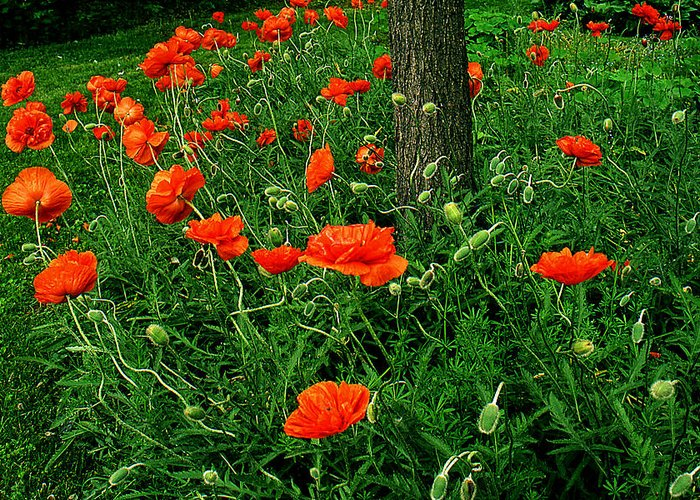 Flowers Greeting Card featuring the photograph Windblown Poppies by Roger Soule