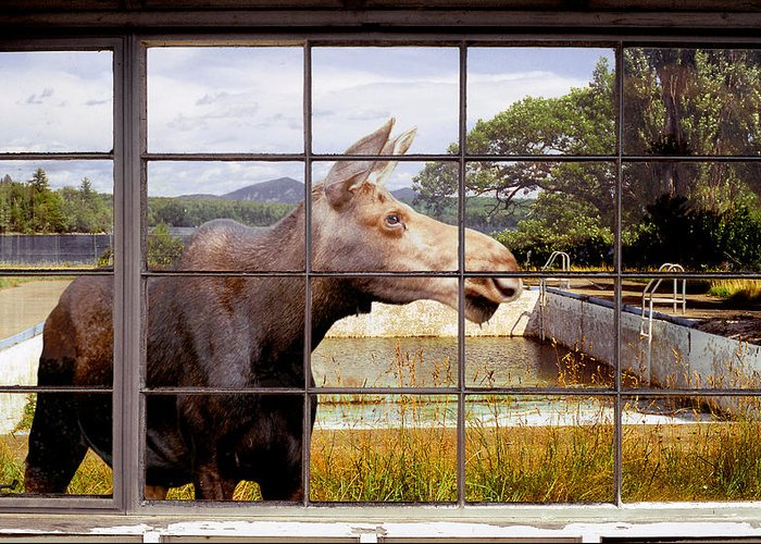 Moose Greeting Card featuring the photograph Window - Moosehead Lake by Peter J Sucy