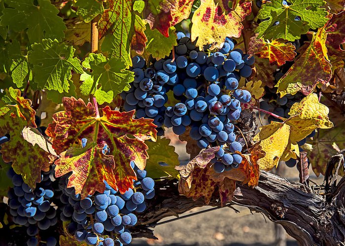 Grapes Greeting Card featuring the photograph Wine Grapes Napa Valley by Garry Gay