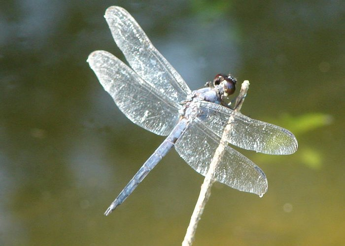 Dragonfly Wings Greeting Card featuring the photograph Wings by Luciana Seymour