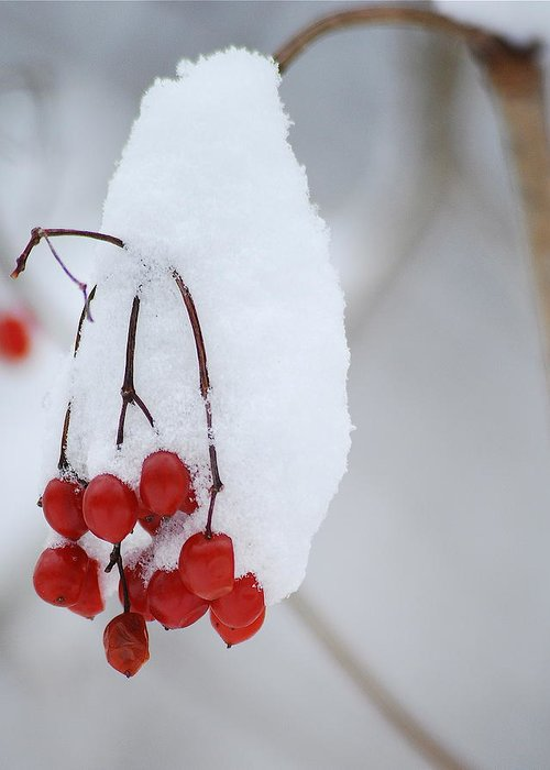 Nature Greeting Card featuring the photograph Winter Berries by Michael Peychich