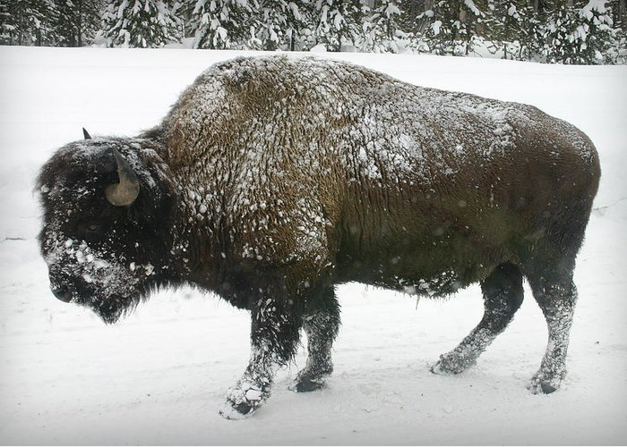 Buffalo Greeting Card featuring the photograph Winter Buffalo by Patricia Montgomery