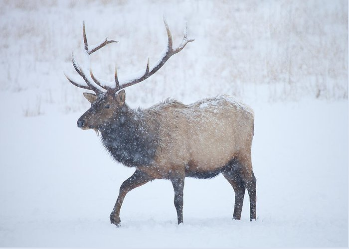 Elk Greeting Card featuring the photograph Winter Bull by Mike Dawson