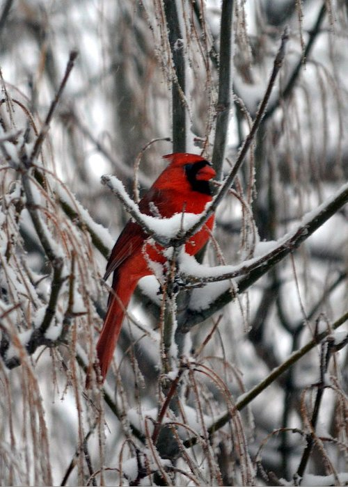Winter Greeting Card featuring the photograph Winter Cardinal by Christina Davis
